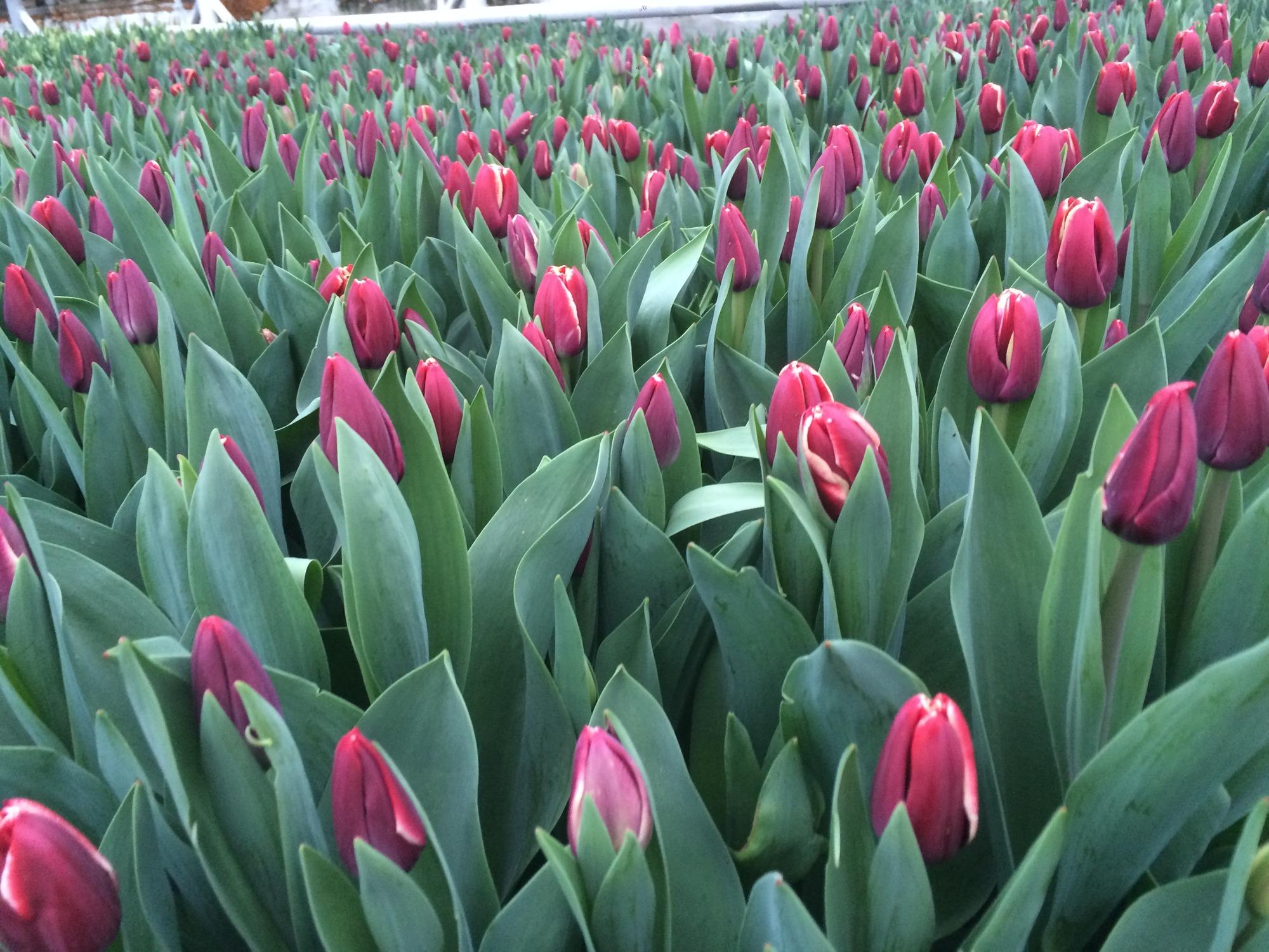 Выгонка тюльпанов 1