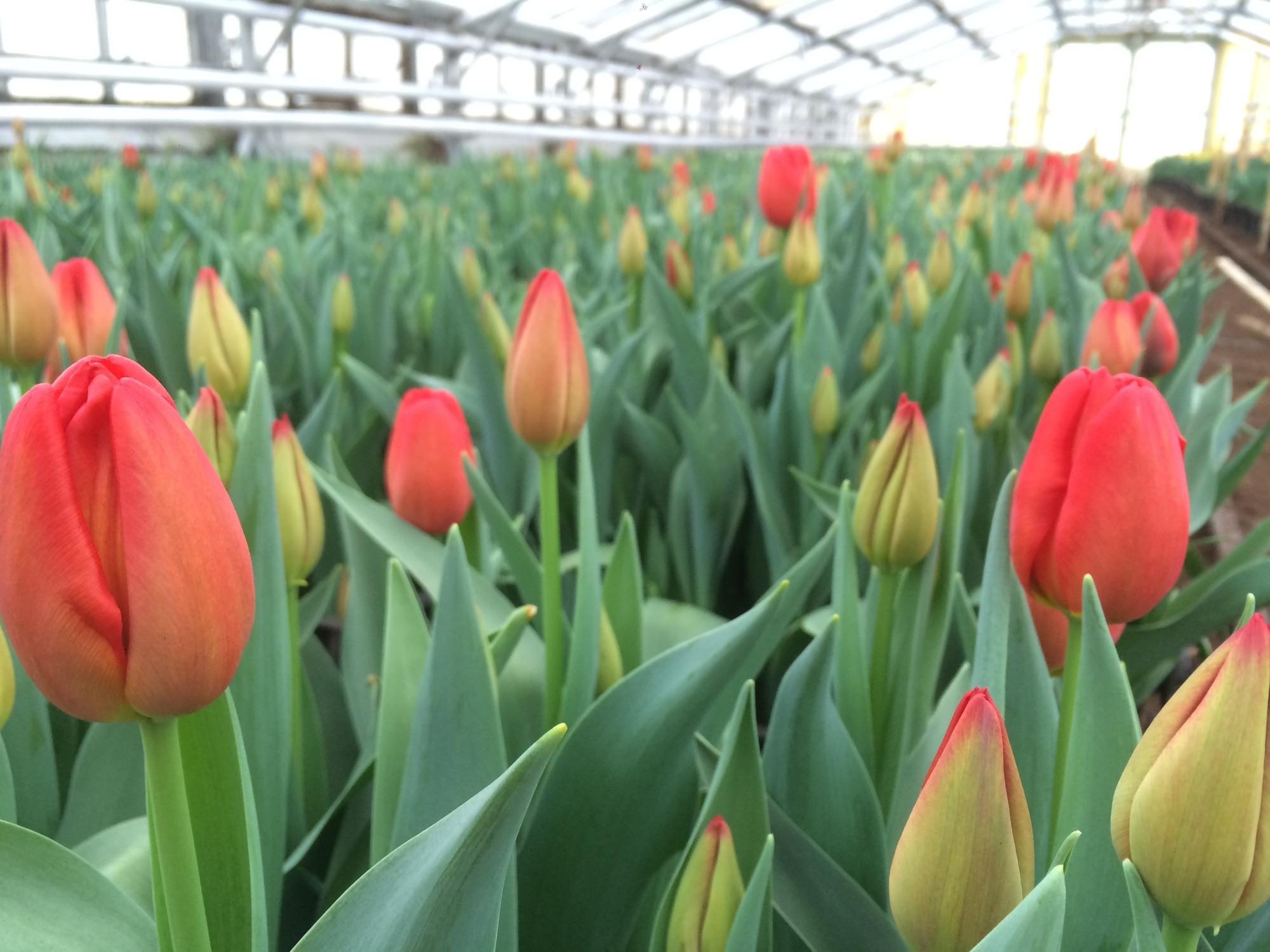 Выгонка тюльпанов 39