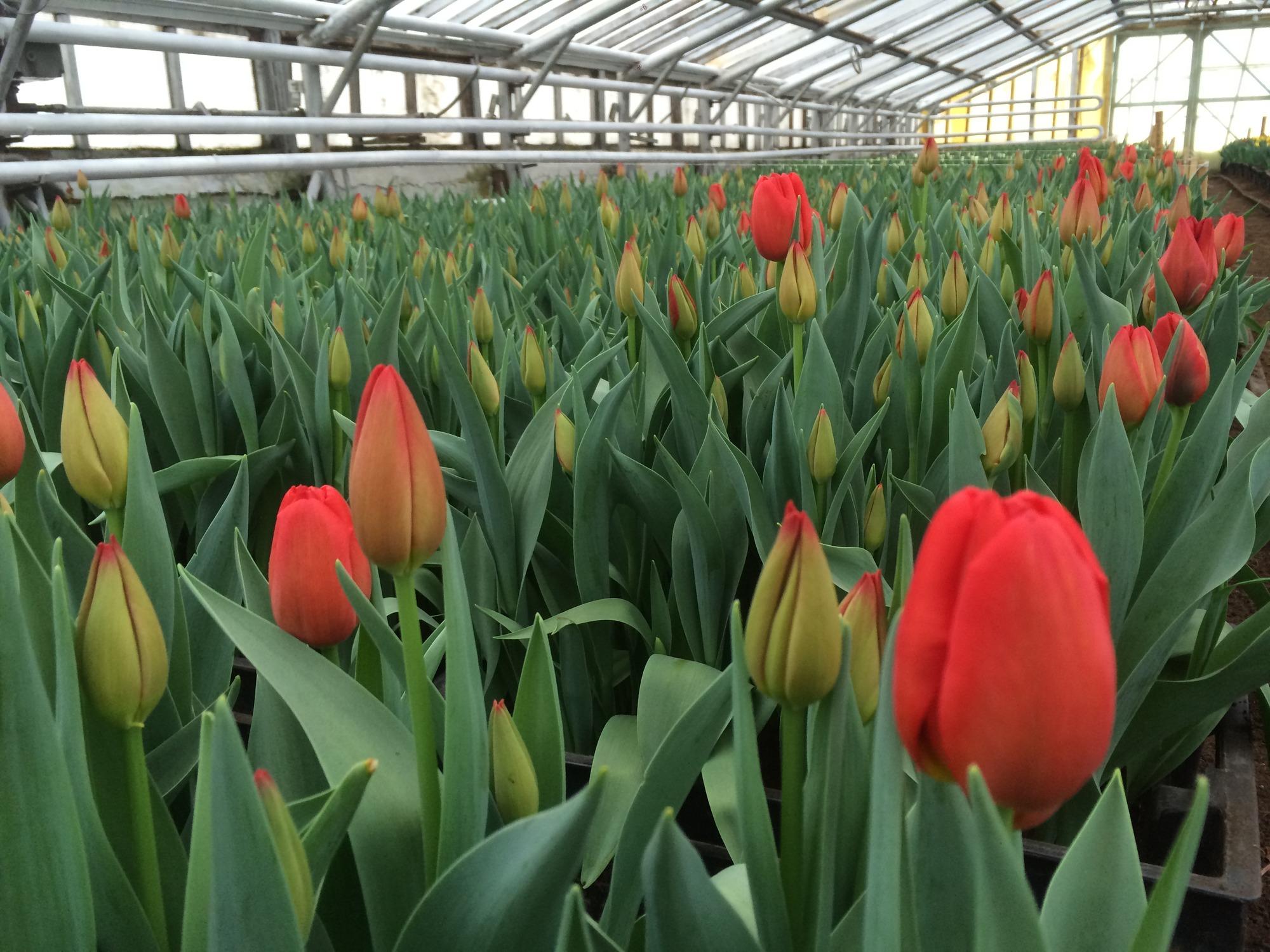 Выгонка тюльпанов 100
