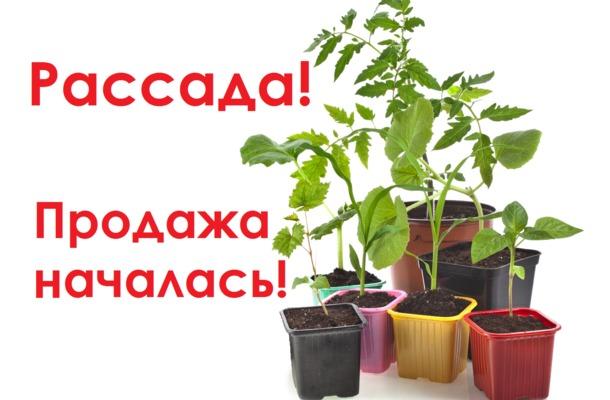 Продажа рассады реклама 71